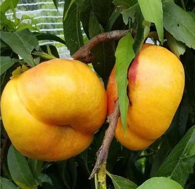 这是一张关于中油5号桃树苗 1~1.5米的产品图片