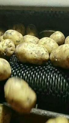 内蒙古自治区呼伦贝尔市牙克石市尤金885土豆  3两以上 皮毛好,个头大
