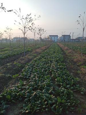 江苏省南通市通州区越冬菠菜 40cm以上