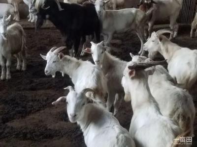 吉林省白城市大安市绵羊 50-80斤