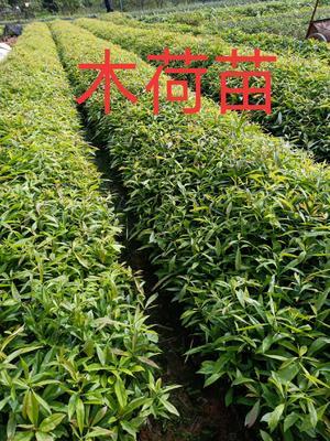 这是一张关于木荷种子的产品图片