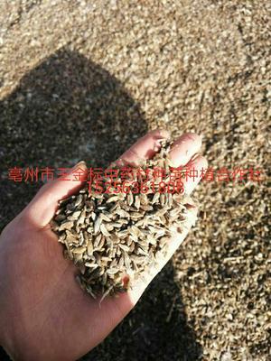 这是一张关于白术种子的产品图片