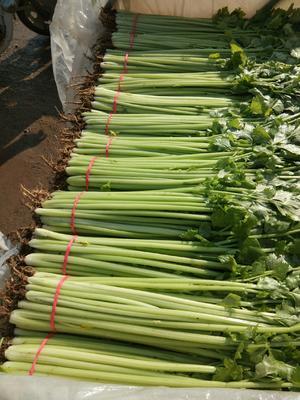 山东省菏泽市单县香芹 50~55cm 大棚种植 0.5斤以下