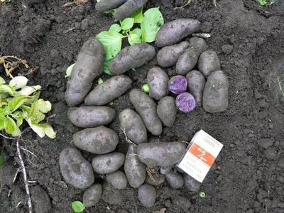 山东省枣庄市滕州市黑金刚土豆 1两以上