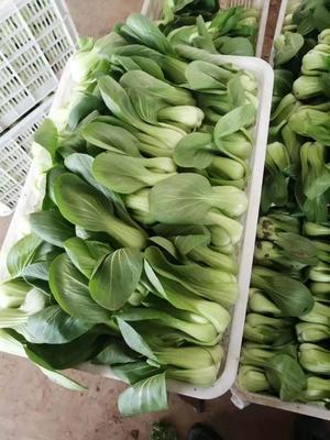 河北省邯郸市永年县上海青 10~15cm