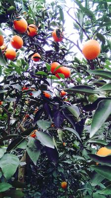 这是一张关于奉节脐橙 65 - 70mm 4两以下的产品图片