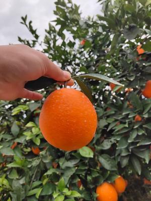 这是一张关于奉节脐橙 65 - 70mm 4-8两的产品图片