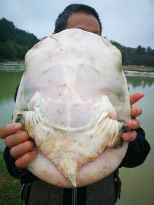 江西省抚州市黎川县生态甲鱼