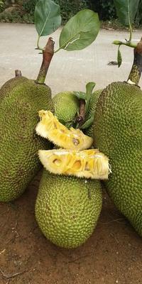 这是一张关于马来1号 10-15斤的产品图片