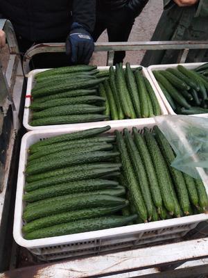 这是一张关于密刺黄瓜 25~35cm的产品图片