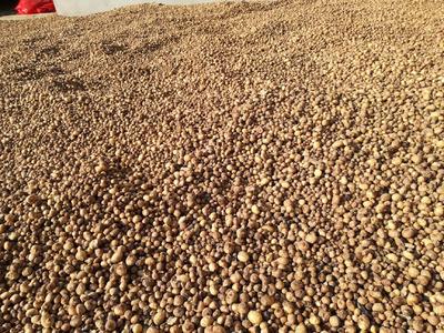 这是一张关于旱半夏种子的产品图片