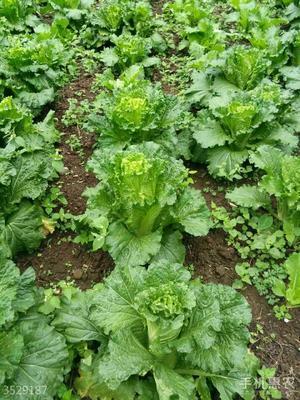 这是一张关于青麻叶大白菜 1~2斤 净菜的产品图片