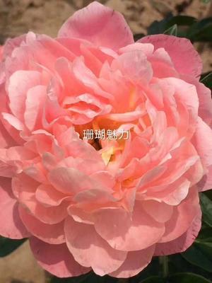 山东省菏泽市牡丹区观赏牡丹 0.5~1米 2~4cm 4~6cm