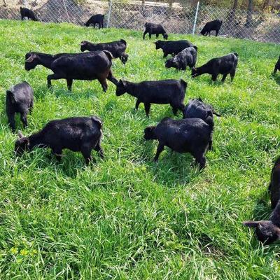 这是一张关于黑山羊 110-140斤的产品图片