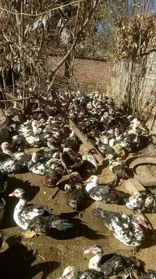 这是一张关于火鸭 8-9斤 公 全散养的产品图片