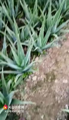 河南省濮阳市华龙区库拉索芦荟 20cm以上