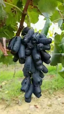 这是一张关于蓝宝石葡萄苗的产品图片