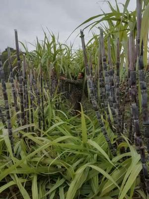 这是一张关于黑皮甘蔗 1.5 - 2m 3 - 4cm的产品图片