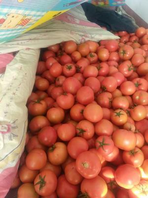 山东省德州市平原县粉果番茄 精品 弧三以上 硬粉