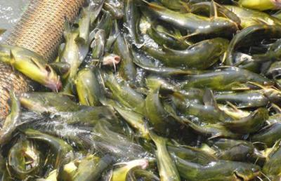 这是一张关于池塘黄颡鱼 人工殖养 0.05公斤的产品图片