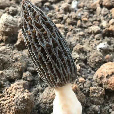 这是一张关于羊肚菌 人工种植 圆顶 灰黑色 6cm~8cm 鲜货的产品图片