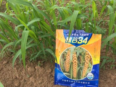 这是一张关于小米种子 大田用种 ≥99% ≥99% ≥97% ≤10%的产品图片