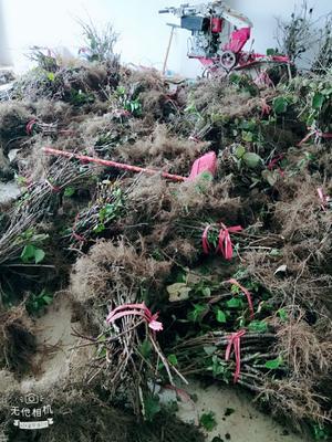 这是一张关于东红猕猴桃苗 嫁接苗的产品图片