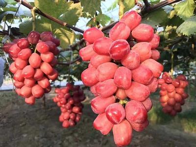 这是一张关于浪漫红颜葡萄苗的产品图片