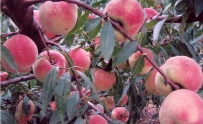 这是一张关于齐鲁巨红桃树苗 1~1.5米的产品图片