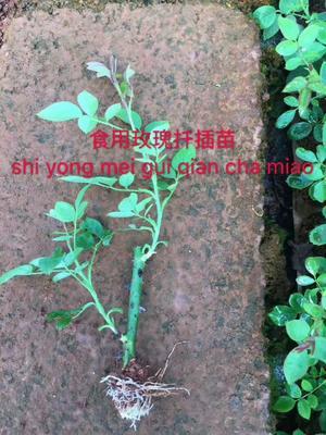 云南省昆明市呈贡区玫瑰苗 穴盘苗