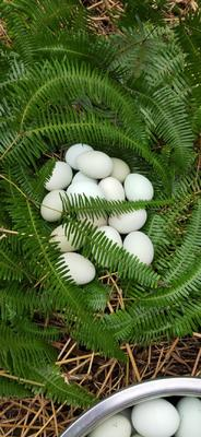 四川省宜宾市江安县绿壳鸡蛋 孵化 箱装