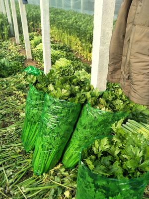 山东省聊城市东昌府区西芹 60cm以上 1.0~1.5斤 大棚种植