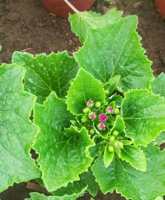 这是一张关于瓜叶菊盆栽的产品图片