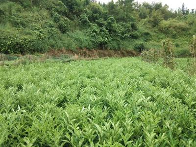 这是一张关于脆皮金桔苗的产品图片