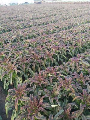 这是一张关于紫叶莴笋1.0~1.5斤 60-70cm的产品图片