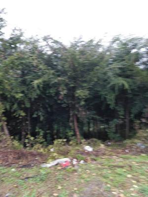 这是一张关于曼地亚红豆杉 3.5米~5米的产品图片