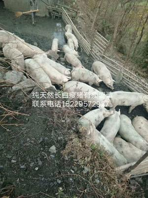 陕西省安康市白河县生态野猪 统货 200-300斤