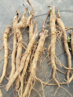 这是一张关于牡丹苗的产品图片