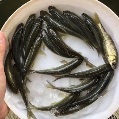 这是一张关于中华倒刺鲃鱼苗的产品图片