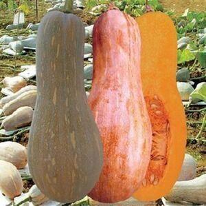 这是一张关于蜜本南瓜种子 95%的产品图片