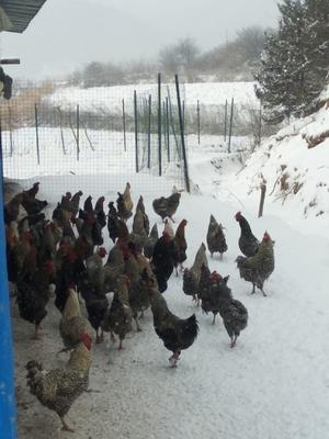这是一张关于芦花鸡 3-4斤 公的产品图片