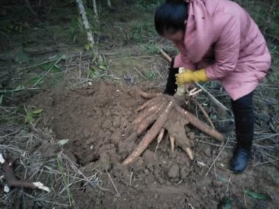 广西壮族自治区柳州市融安县南美木薯