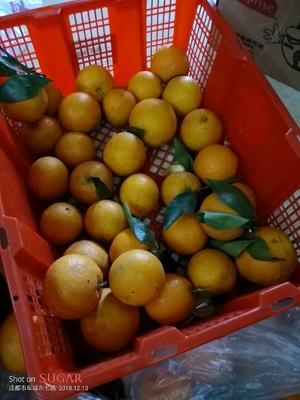 这是一张关于甜橙 60 - 65mm 4-8两的产品图片
