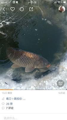这是一张关于野生鲤鱼 野生 1.5-3.5公斤的产品图片
