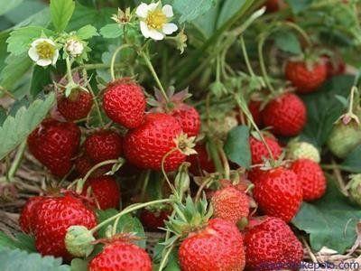 这是一张关于明宝草莓苗 10~20公分 地栽苗的产品图片