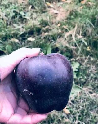 黑钻苹果树苗  0.5~1米 育苗三十年  只卖好树苗良心苗