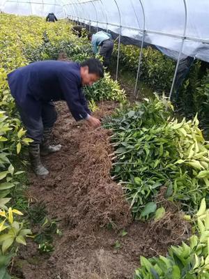 这是一张关于红美人柑桔苗 嫁接苗 0.5~1米的产品图片