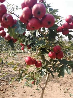这是一张关于大果山楂苗的产品图片