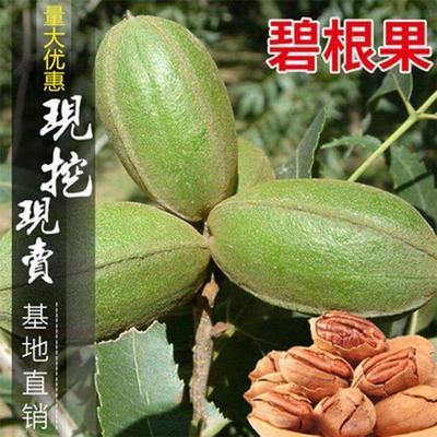 这是一张关于碧根果苗的产品图片