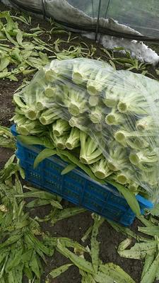浙江省杭州市萧山区青香油麦菜 25~30cm